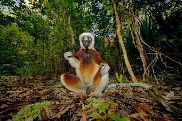 Coquerel�s sifaka sat on the forest floor primate,primates,lemur,lemurs,endemic,Madagascar,tropical,rainforest,surprised,belly,arms,yellow,fur,eyes,face,looking at camera,sifaka,funny,Coquerel�s sifaka,Propithecus coquereli,Coquerel's sifaka,