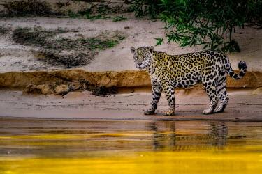 Jaguar prowling a river bank mammal,mammals,vertebrate,vertebrates,terrestrial,fur,cat,cats,feline,felidae,predator,carnivore,big cat,big cats,Amazon,river,rivers and streams,water,yellow,gold,jungle,jungles,pattern,patterned,cam