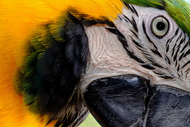Close up of a blue-and-yellow macaw bird,birds,birdlife,avian,aves,wings,feathers,bill,plumage,parrot,parrots,colour,colourful,yellow,face,eye,close up,Blue-and-yellow macaw,Ara ararauna,Parakeets, Macaws, Parrots,Psittacidae,Parrots,Ps