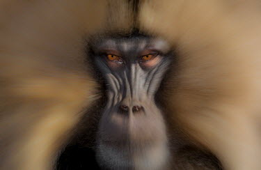 Portrait of a gelada mammal,mammals,vertebrate,vertebrates,terrestrial,fur,monkey,monkeys,baboon,baboons,primate,primates,Ethiopia,Africa,face,close up,eyes,shallow focus,looking at camera,nose,snout,eye,watching,arty,art