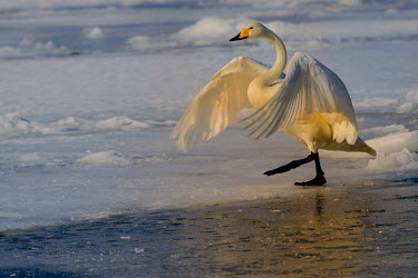 A swan treading carefully along ice swan,swans,Animalia,Chordata,Aves,Anseriformes,Anatidae,Cygnus,bird,birds,birdlife,avian,wings,feathers,bill,waterfowl,ponds,lakes,pond,lake,white,snow,ice,cold,winter,frozen,freeze,freezing,action,mo