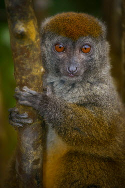 An Alaotran gentle lemur clinging to a tree primate,primates,lemur,lemurs,endemic,Madagascar,tropical,rainforest,eyes,face,aerial,canopy,jungle,jungles,forest,arboreal,tree,trees,cute,looking at camera,shallow focus,close up,fur,Alaotran gentle