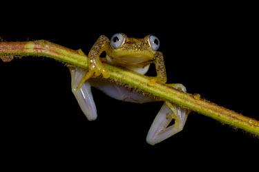 A frog in Madagascar clings to the stem of a plant Animalia,Chordata,Amphibia,Anura,Hyperoliidae,macro,pattern,feet,toes,close up,webbed feet,frog,frogs,frogs and toads,amphibian,amphibians,eye,eyes,skin,pigment,pigmentation,blue eyes,pupils,pupil,bla