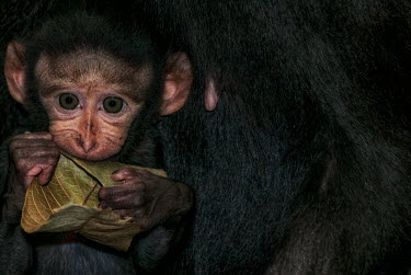 A baby crested black macaque chewing on a leaf macaques,mammal,mammals,vertebrate,vertebrates,terrestrial,monkey,monkeys,primate,primates,eyes,juvenile,baby,young,face,hands,eating,chewing,leaf,teething,innocent,cute,ears,Crested black macaque,Mac