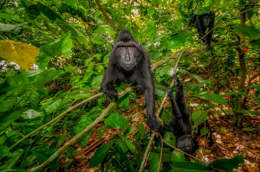 A troop of four crested black macaque moving through forest macaques,mammal,mammals,vertebrate,vertebrates,terrestrial,monkey,monkeys,primate,primates,eyes,troop,group,climb,climbing,green background,green,leaves,foliage,jungle,rainforest,forest,patrol,patroll