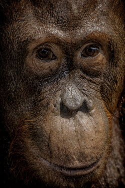 Portrait of a female Bornean orangutan orangutan,ape,great ape,apes,great apes,primate,primates,hominidae,hominids,hominid,Asia,fur,hair,orange,ginger,mammal,mammals,vertebrate,vertebrates,Borneo,Bornean,Asian,Indonesian,Bornean orangutan,