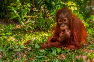 Juvenile Bornean orangutan sitting on the forest floor orangutan,ape,great ape,apes,great apes,primate,primates,jungle,jungles,forest,forests,rainforest,hominidae,hominids,hominid,Asia,fur,hair,orange,ginger,mammal,mammals,vertebrate,vertebrates,Borneo,Bo