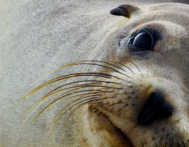 Portrait of a Galapagos sea lion marine,marine life,sea,sea life,ocean,oceans,water,underwater,aquatic,marine mammal,marine mammals,mammal,mammals,vertebrate,vertebrates,aquatic mammals,aquatic mammal,fur,face,eye,eyes,whiskers,nose,