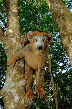Crowned lemur in a tree, looking at camera primate,primates,lemur,lemurs,endemic,Madagascar,tropical,rainforest,eyes,face,aerial,canopy,jungle,jungles,forest,arboreal,tree,trees,Crowned lemur,Eulemur coronatus,Mammalia,Mammals,Primates,Chordat