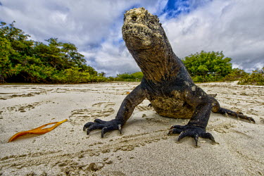 Close up of a Galapagos marine iguana on a beach lizard,lizards,reptile,reptiles,scales,scaly,reptilian,lizards and snakes,terrestrial,cold blooded,iguana,Galapagos,marine iguana,iguanas,face,close up,claws,claw,beach,sand,shore,coastal,coastline,fe