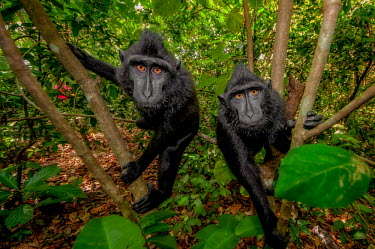 A pair of crested black macaque investigating the camera macaques,mammal,mammals,vertebrate,vertebrates,terrestrial,monkey,monkeys,primate,primates,eyes,climb,climbing,green background,green,leaves,foliage,jungle,rainforest,forest,pair,looking at camera,Cre