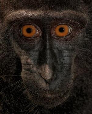 Close up portrait of a crested black macaque macaques,mammal,mammals,vertebrate,vertebrates,terrestrial,monkey,monkeys,primate,primates,eyes,close up,face,portrait,innocent,Crested black macaque,Macaca nigra,Mammalia,Mammals,Chordates,Chordata,P