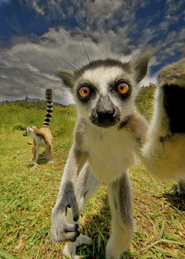 Ring-tailed lemur investigating the camera primate,primates,lemur,lemurs,endemic,Madagascar,tropical,rainforest,eyes,face,looking at camera,grass,ring tail,ring-tailed,action,cheeky,naughty,close up,standing,funny,selfie,Ring-tailed lemur,Lemu