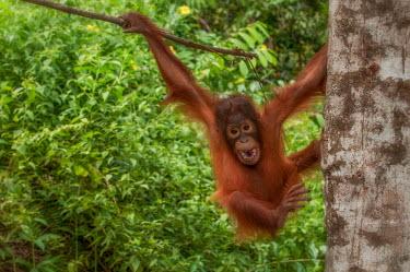 Juvenile Bornean orangutan hanging in a tree orangutan,ape,great ape,apes,great apes,primate,primates,jungle,jungles,forest,forests,rainforest,hominidae,hominids,hominid,Asia,fur,hair,orange,ginger,mammal,mammals,vertebrate,vertebrates,arboreal,