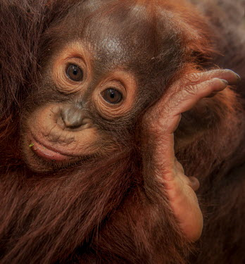 Portrait of a baby Bornean orangutan orangutan,ape,great ape,apes,great apes,primate,primates,hominidae,hominids,hominid,Asia,fur,hair,orange,ginger,mammal,mammals,vertebrate,vertebrates,Borneo,Bornean,Asian,Indonesian,young,juvenile,bab