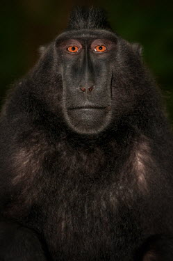Portrait of a crested black macaque macaques,mammal,mammals,vertebrate,vertebrates,terrestrial,monkey,monkeys,primate,primates,eyes,close up,face,portrait,black,Crested black macaque,Macaca nigra,Mammalia,Mammals,Chordates,Chordata,Prim