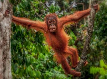 A juvenile Bornean orangutan between trees orangutan,ape,great ape,apes,great apes,primate,primates,jungle,jungles,forest,forests,rainforest,hominidae,hominids,hominid,Asia,fur,hair,orange,ginger,mammal,mammals,vertebrate,vertebrates,arboreal,