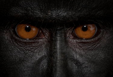 Eyes of a crested black macaque macaques,mammal,mammals,vertebrate,vertebrates,terrestrial,monkey,monkeys,primate,primates,eyes,close up,face,portrait,eye,skin,nose,snout,anger,angry,strong,powerful,emotion,looing,look,watching,see,