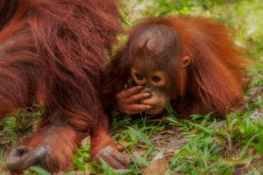 Juvenile Bornean orangutan laying on the floor next to its mother orangutan,ape,great ape,apes,great apes,primate,primates,jungle,jungles,forest,forests,rainforest,hominidae,hominids,hominid,Asia,fur,hair,orange,ginger,mammal,mammals,vertebrate,vertebrates,Borneo,Bo