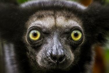 Close up portrait of a Coquerel's sifaka primate,primates,lemur,lemurs,endemic,Madagascar,tropical,rainforest,fur,eyes,face,looking at camera,sifaka,eye,close up,shallow focus,nose,snout,Coquerel�s sifaka,Propithecus coquereli,Coquerel's sif
