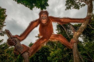 A Bornean orangutan hanging in the canopy looking at the camera orangutan,ape,great ape,apes,great apes,primate,primates,jungle,jungles,forest,forests,rainforest,hominidae,hominids,hominid,Asia,fur,hair,orange,ginger,mammal,mammals,vertebrate,vertebrates,arboreal,