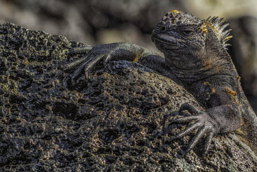 Galapagos marine iguana clinging to a rock with long sharp claws lizard,lizards,reptile,reptiles,scales,scaly,reptilian,lizards and snakes,terrestrial,cold blooded,iguana,Galapagos,marine iguana,iguanas,face,close up,shallow focus,bokeh,claws,claw,rock,shore,coasta