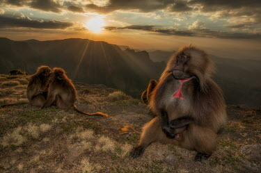 A male gelada sitting peacefully among his troop whilst the sun sets mammal,mammals,vertebrate,vertebrates,terrestrial,fur,monkey,monkeys,baboon,baboons,primate,primates,Ethiopia,Africa,mountains,landscape,sunshine,sunlight,sun,horizon,chest,male,genitals,genitalia,pos