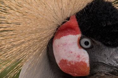 Close up of a grey crowned-crane crane,cranes,bird,birds,birdlife,avian,aves,wings,feathers,bill,plumage,face,close up,crown,eye,eyes,blue eyes,style,display,Grey crowned-crane,Balearica regulorum,Chordates,Chordata,Gruidae,Aves,Bird