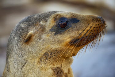Portrait of a Galapagos sea lion, arching its neck marine,marine life,sea,sea life,ocean,oceans,water,underwater,aquatic,marine mammal,marine mammals,mammal,mammals,vertebrate,vertebrates,aquatic mammals,aquatic mammal,fur,face,eye,eyes,whiskers,nose,