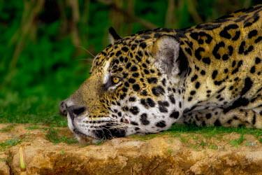 Jaguar resting mammal,mammals,vertebrate,vertebrates,terrestrial,fur,cat,cats,feline,felidae,predator,carnivore,big cat,big cats,Amazon,jungle,jungles,pattern,patterned,camouflage,shallow focus,close up,face,tired,b