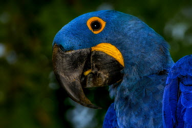 Close up of a hyacinth macaw bird,birds,birdlife,avian,aves,wings,feathers,bill,plumage,parrot,parrots,colour,colourful,blue,yellow,face,eye,close up,shallow focus,Hyacinth macaw,Anodorhynchus hyacinthinus,Aves,Birds,Parrots,Psit