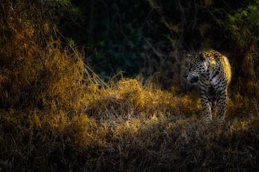 Jaguar at the edge of a forest mammal,mammals,vertebrate,vertebrates,terrestrial,cat,cats,feline,felidae,predator,carnivore,big cat,big cats,Amazon,jungle,jungles,pattern,patterned,camouflage,gold,yellow,atmospheric,moody,glow,fore