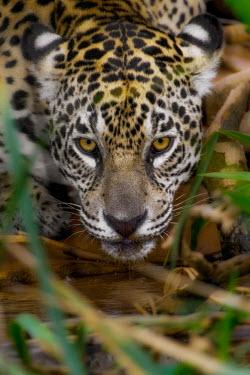 Jaguar drinking at a river bank mammal,mammals,vertebrate,vertebrates,terrestrial,fur,cat,cats,feline,felidae,predator,carnivore,big cat,big cats,Amazon,river,rivers and streams,water,drink,drinking,jungle,jungles,pattern,patterned,