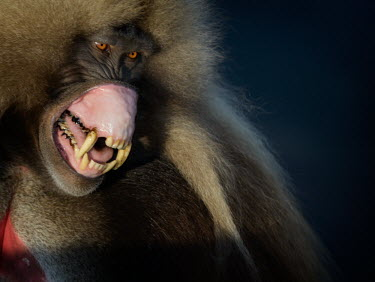 A male gelada baring his teeth as a sign of aggression mammal,mammals,vertebrate,vertebrates,terrestrial,fur,monkey,monkeys,baboon,baboons,primate,primates,Ethiopia,Africa,mouth,gums,teeth,canines,canine tooth,tooth,cuspid,jaw,warning,angry,anger,threat,d