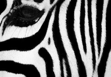 Close up of the side of a zebras face zebra,Animalia,Chordata,Mammalia,Perissodactyla,Equidae,Equus,striped,stripes,herbivores,herbivore,vertebrate,mammal,mammals,terrestrial,Africa,African,savanna,savannah,safari,wild horse,horse,horses,