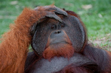 A male Bornean orangutan looking at the camera from a relaxed pose orangutan,ape,great ape,apes,great apes,primate,primates,hominidae,hominids,hominid,Asia,fur,hair,orange,ginger,mammal,mammals,vertebrate,vertebrates,Borneo,Bornean,Asian,Indonesian,funny,Bornean oran
