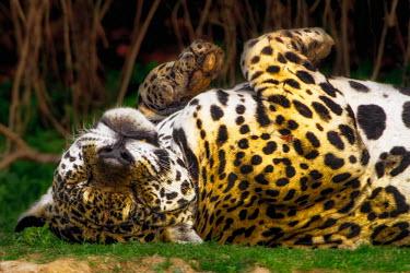 Jaguar rolling on the floor mammal,mammals,vertebrate,vertebrates,terrestrial,fur,cat,cats,feline,felidae,predator,carnivore,big cat,big cats,Amazon,jungle,jungles,pattern,patterned,camouflage,shallow focus,close up,face,tired,b