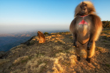 A male gelada standing on a rock at the edge of a mountain range mammal,mammals,vertebrate,vertebrates,terrestrial,fur,monkey,monkeys,baboon,baboons,primate,primates,Ethiopia,Africa,mountains,landscape,chest,standing,blue sky,genitals,genitalia,penis,male,Gelada,Th