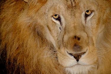 Close up portrait of a male lion lions,mammal,mammals,vertebrate,vertebrates,terrestrial,fur,cat,cats,feline,felidae,predator,carnivore,apex,face,close up,eyes,mane,male,looking at camera,old,sad,tired,big cats,Lion,Panthera leo,Afri