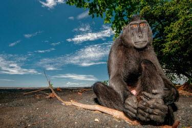 Crested black macaque sat on a beach macaques,mammal,mammals,vertebrate,vertebrates,terrestrial,monkey,monkeys,primate,primates,eyes,sitting,hands,feet,beach,sky,blue sky,tropical,coast,coastal,Crested black macaque,Macaca nigra,Mammalia
