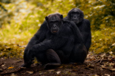 Chimpanzees sitting together on the forest floor chimpanzee,chimpanzees,chimp,chimps,ape,great ape,apes,great apes,Africa,forest,forests,rainforest,hominidae,hominids,hominid,primate,primates,pair,couple,Pan troglodytes,Chimpanzee,Hominids,Hominidae