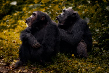 Chimpanzees sitting together on the forest floor chimpanzee,chimpanzees,chimp,chimps,ape,great ape,apes,great apes,Africa,forest,forests,rainforest,hominidae,hominids,hominid,primate,primates,pair,couple,calling,Pan troglodytes,Chimpanzee,Hominids,H