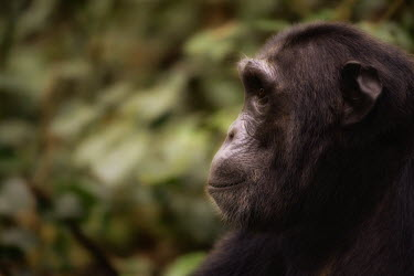 Portrait of a chimpanzee chimpanzee,chimpanzees,chimp,chimps,ape,great ape,apes,great apes,Africa,forest,forests,rainforest,hominidae,hominids,hominid,primate,primates,face,close up,shallow focus,negative space,Pan troglodyte