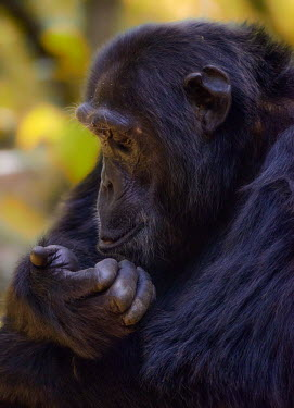 A chimpanzee staring at its hand chimpanzee,chimpanzees,chimp,chimps,ape,great ape,apes,great apes,Africa,forest,forests,rainforest,hominidae,hominids,hominid,primate,primates,face,close-up,thoughtful,thinking,scratching,Pan troglody