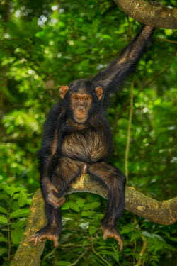 Chimpanzee sitting in a tree looking at the camera chimpanzee,chimpanzees,chimp,chimps,ape,great ape,apes,great apes,Africa,forest,forests,rainforest,hominidae,hominids,hominid,primate,primates,arboreal,sitting,looking at camera,belly,stomach,funny,Pa