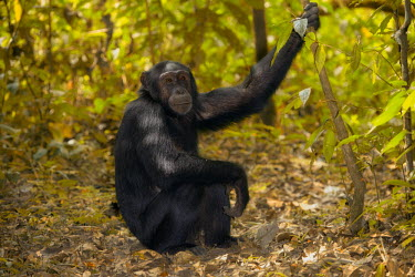 Chimpanzee sat on the forest floor looking at the camera chimpanzee,chimpanzees,chimp,chimps,ape,great ape,apes,great apes,Africa,forest,forests,rainforest,hominidae,hominids,hominid,primate,primates,arms,arm,bicep,looking at camera,Pan troglodytes,Chimpanz