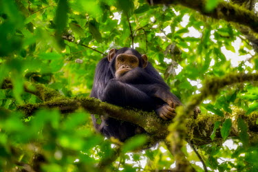 Chimpanzee sitting in a tree looking bored chimpanzee,chimpanzees,chimp,chimps,ape,great ape,apes,great apes,Africa,forest,forests,rainforest,hominidae,hominids,hominid,primate,primates,arboreal,sitting,fed up,bored,emotion,funny,Pan troglodyt