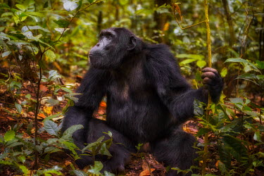Chimpanzee sitting on forest floor chimpanzee,chimpanzees,chimp,chimps,ape,great ape,apes,great apes,Africa,forest,forests,rainforest,hominidae,hominids,hominid,primate,primates,shallow focus,Pan troglodytes,Chimpanzee,Hominids,Hominid
