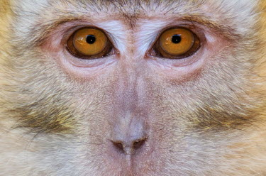Eyes of a monkey monkey,monkeys,primate,primates,mammal,mammals,vertebrate,vertebrates,eyes,face,close up,macaque,Animalia,Chordata,Mammalia,Cercopithecidae,Macaca,Wildlife