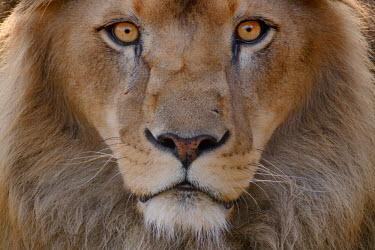 Close up portrait of a male lion lions,mammal,mammals,vertebrate,vertebrates,terrestrial,fur,cat,cats,feline,felidae,predator,carnivore,apex,face,close up,eyes,mane,male,big cats,Lion,Panthera leo,African lion,Felidae,Cats,Mammalia,M